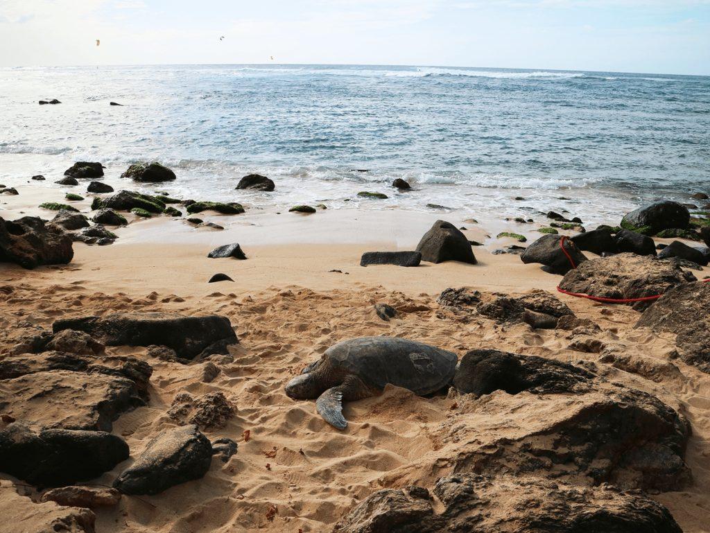 ラニアケアビーチのウミガメ